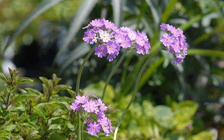 AllgäuStauden Mehl-Primel Primula farinosa