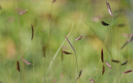 AllgäuStauden Moskitogras Bouteloua gracilis