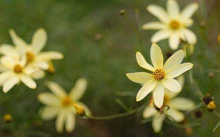 AllgäuStauden Nadelblättriges Mädchenauge Coreopsis Verticillata-Hybride 'Moonbeam'