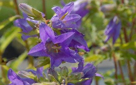 AllgäuStauden Nessel-Glockenblume Campanula trachelium