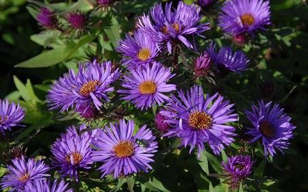 AllgäuStauden Niedrige Raublatt-Aster Aster novae-angliae 'Purple Dome'