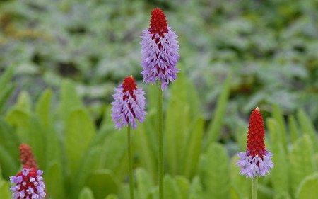 AllgäuStauden Orchideen-Primel Primula vialii