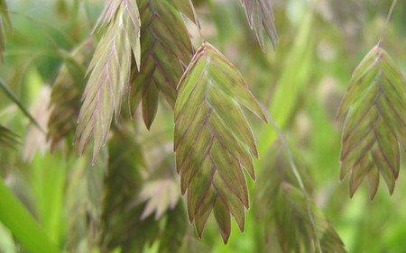 AllgäuStauden Plattährengras Chasmanthium latifolium