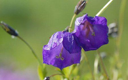 AllgäuStauden Polster-Glockenblume Campanulax pulloides 'G. F. Wilson'