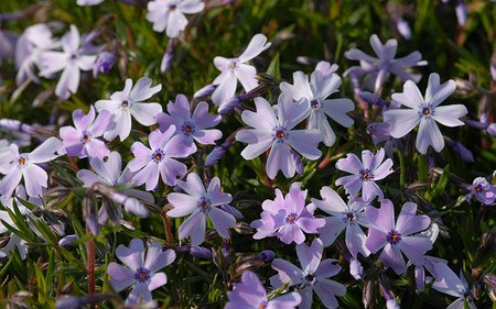 AllgäuStauden Polster-Phlox Phlox subulata 'Emerald Cushion Blue'