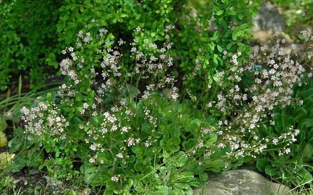 AllgäuStauden Porzellanblümchen Saxifraga x urbium 'rosablütig'
