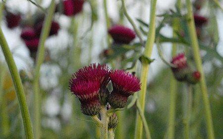 AllgäuStauden Purpur-Kratzdistel Cirsium rivulare 'Atropurpureum'