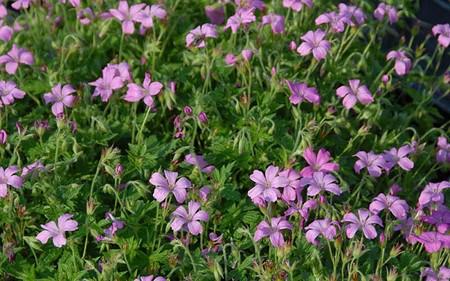 AllgäuStauden Pyrenäen-Storchschnabel Geranium endressii