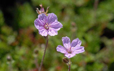 AllgäuStauden Reiherschnabel Erodium x variabile 'County Park'