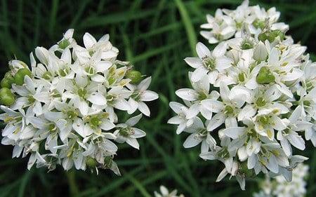 AllgäuStauden Riesen-Schnittknoblauch Alliumtuberosum 'Monstrosum'