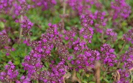 AllgäuStauden Rundblättriger Garten-Thymian Thymus praecox 'Purpurteppich'