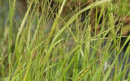 AllgäuStauden Rutenhirse Panicum virgatum 'Strictum'