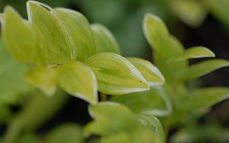 AllgäuStauden Salomonssiegel Polygonatum odoratum var. pluriflorum 'Variegatum'