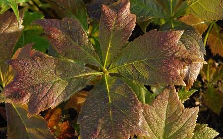 AllgäuStauden Schaublatt Rodgersia podophylla 'Rotlaub'