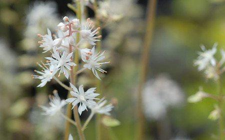 AllgäuStauden Schaumblüte Tiarella cordifolia 'Eco'