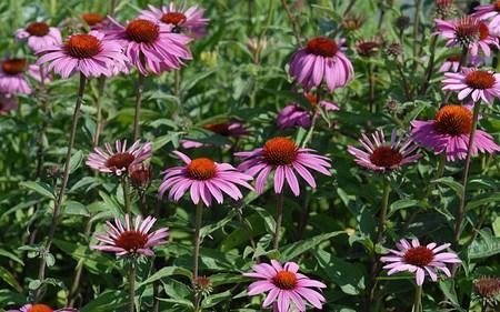 allg ustauden scheinsonnenhut echinacea purpurea 39 magnus superior 39 g nstig online kaufen mein. Black Bedroom Furniture Sets. Home Design Ideas