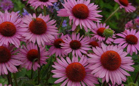 AllgäuStauden Scheinsonnenhut Echinacea purpurea 'Rosenelfe'