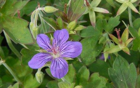 AllgäuStauden Sibirischer Storchschnabel Geranium wlassovianum