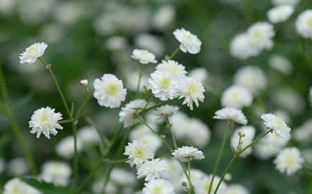AllgäuStauden Silber-Hahnenfuß Ranunculus aconitifolius 'Pleniflorus'