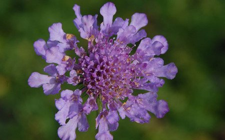 AllgäuStauden Skabiose Scabiosa Hybride 'Vivid Violet' ®