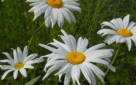 AllgäuStauden Sommer-Margerite Leucanthemum Maximum-Hybride 'Amelia'