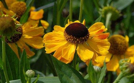 AllgäuStauden Sonnenbraut Helenium Hybride 'El Dorado'