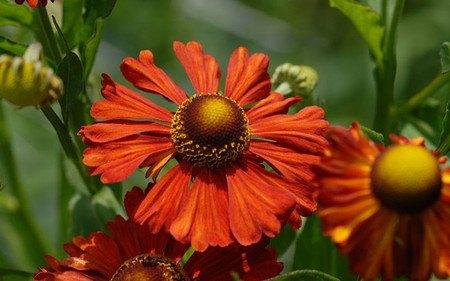 AllgäuStauden Sonnenbraut Helenium Hybride 'Kupferziegel