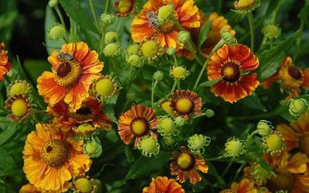 AllgäuStauden Sonnenbraut Helenium Hybride 'Marion Nickig'