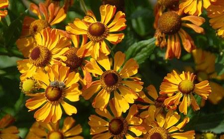 AllgäuStauden Sonnenbraut Helenium Hybride 'Rauchtopas'