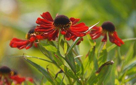 AllgäuStauden Sonnenbraut Helenium Hybride 'Rubinzwerg'
