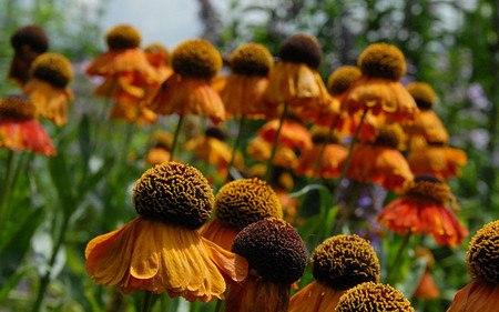 AllgäuStauden Sonnenbraut Helenium Hybride 'Sahin's Early Flowerer'
