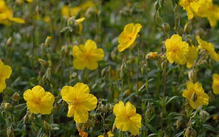 AllgäuStauden Sonnenröschen Helianthemum Hybride 'Golden Queen'