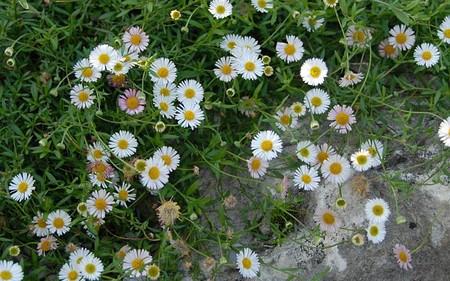 AllgäuStauden Spanisches Gänseblümchen Erigeron karvinskianus 'Blütenmeer'