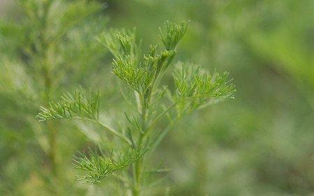 AllgäuStauden Spezi-Pflanze Artemisia procera