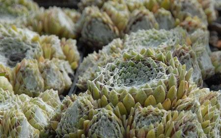 AllgäuStauden Spinnweb-Hauswurz Sempervivum Arachnoideum-Hybride 'Silberkarneol'