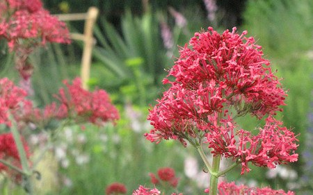 AllgäuStauden Spornblume Centranthus ruber 'Coccineus'