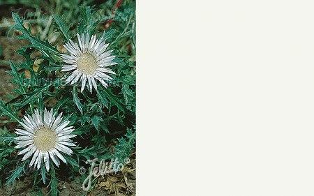 AllgäuStauden Stängel-Silberdistel Carlina acaulis ssp. simplex