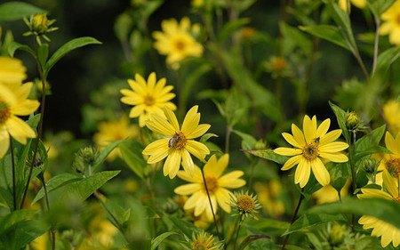 AllgäuStauden Stauden-Sonnenblume Helianthusmicrocephalus