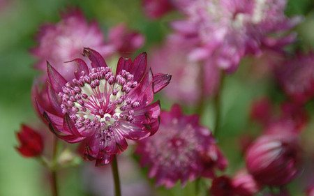 AllgäuStauden Sterndolde Astrantia major 'Claret'