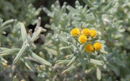 AllgäuStauden Südafrika-Strohblume Helichrysum splendidum