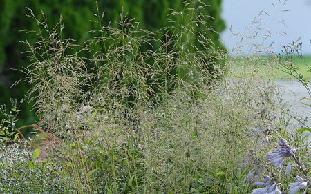 AllgäuStauden Wald-Schmiele Deschampsia cespitosa 'Tardiflora'