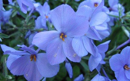 AllgäuStauden Wander-Phlox Phlox stolonifera'Blue Ridge'