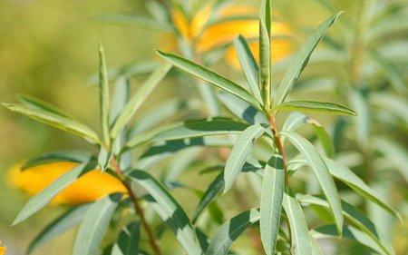 AllgäuStauden Weiden-Wolfsmilch Euphorbia sarawschanica