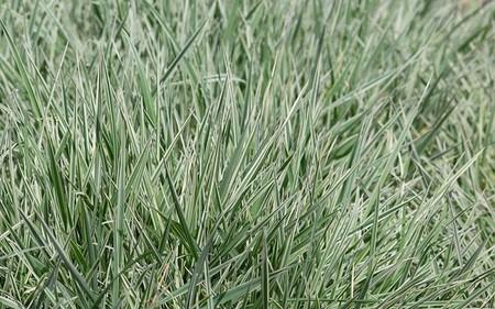 AllgäuStauden Weißbunter Glatthafer Arrhenatherum elatius ssp. bulbosum 'Variegatum'