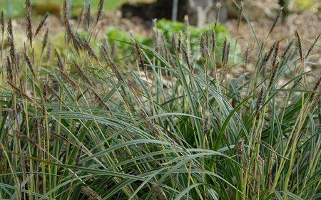 AllgäuStauden Weißrand-Japan-Segge Carex morrowii 'Variegata'