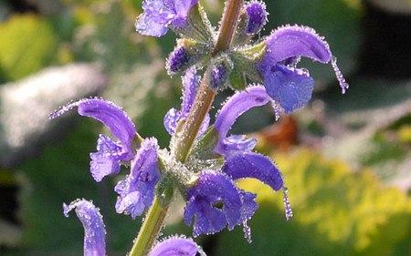 AllgäuStauden Wiesen-Salbei Salvia pratensis