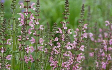 AllgäuStauden Wiesen-Salbei Salvia pratensis'Rose Rhapsody'