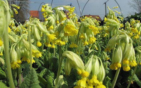 AllgäuStauden Wiesen-Schlüsselblume Primula veris
