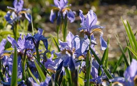 AllgäuStauden Wiesen-Schwertlilie Iris sibirica 'Blue Celeste'