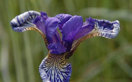 AllgäuStauden Wiesen-Schwertlilie Iris Tetrasibtosa-Hybride 'Three Quarters'
